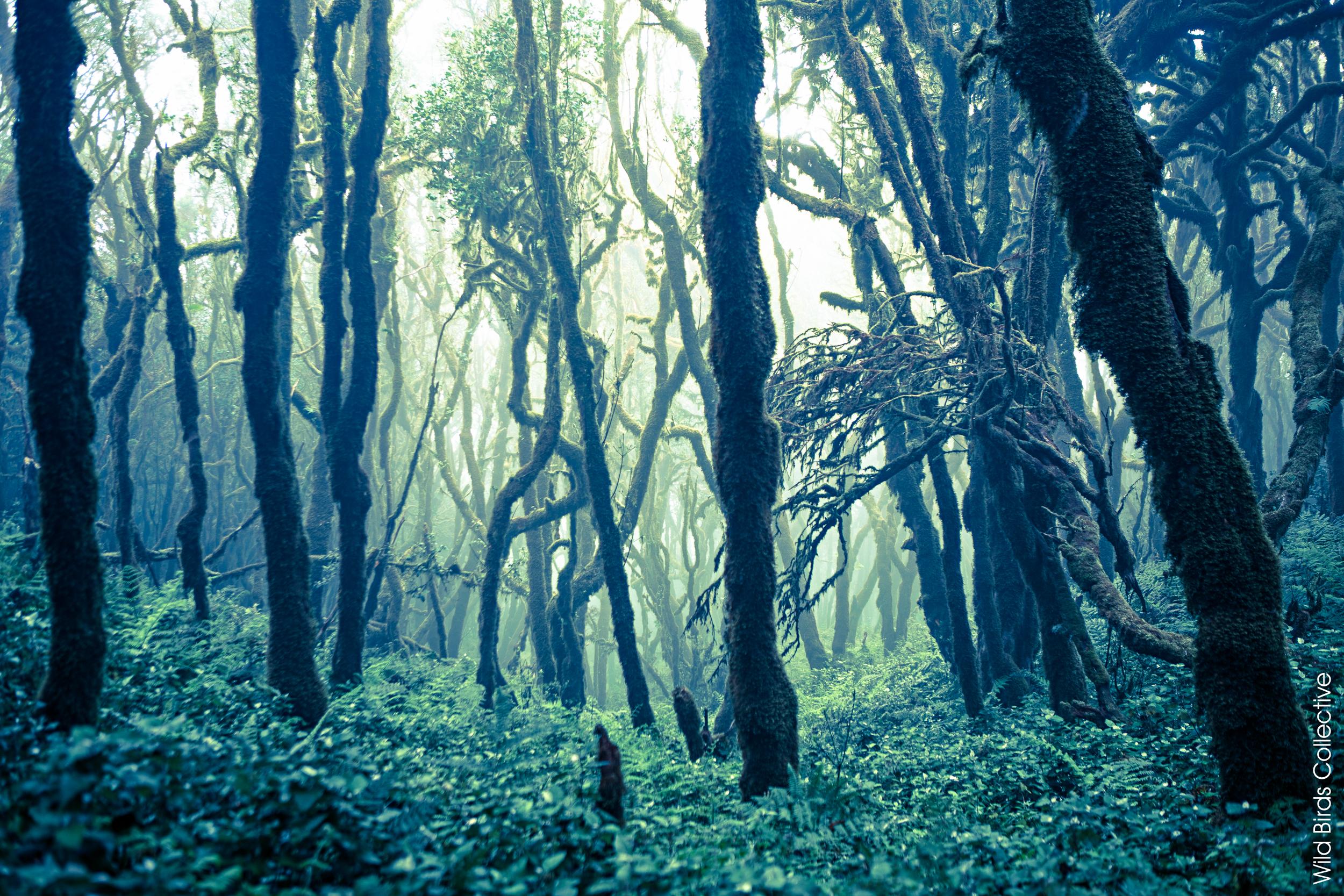 El Monteverde, Parque Garajonay, La Gomera