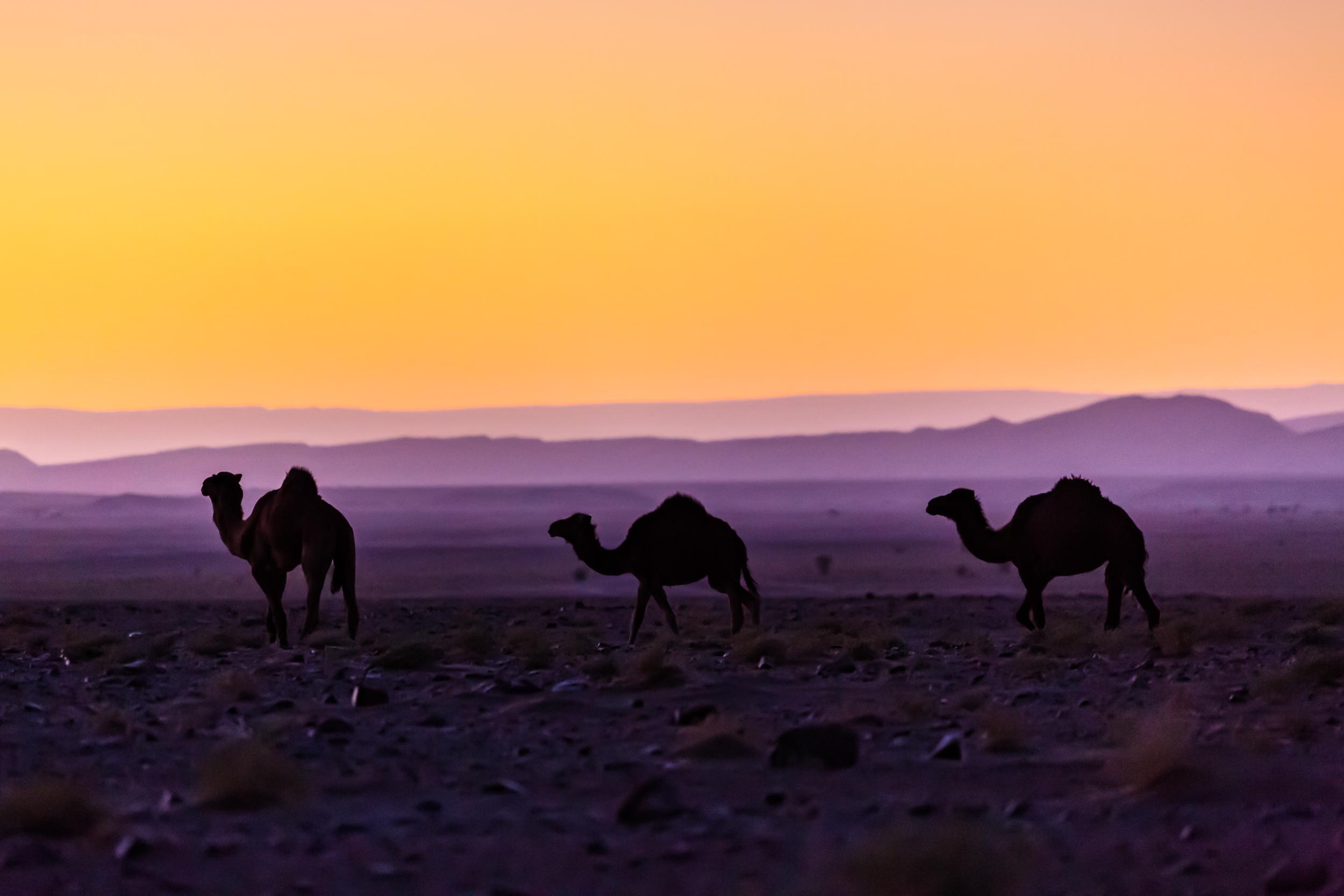 Dromadaires au coucher du soleil au Maroc