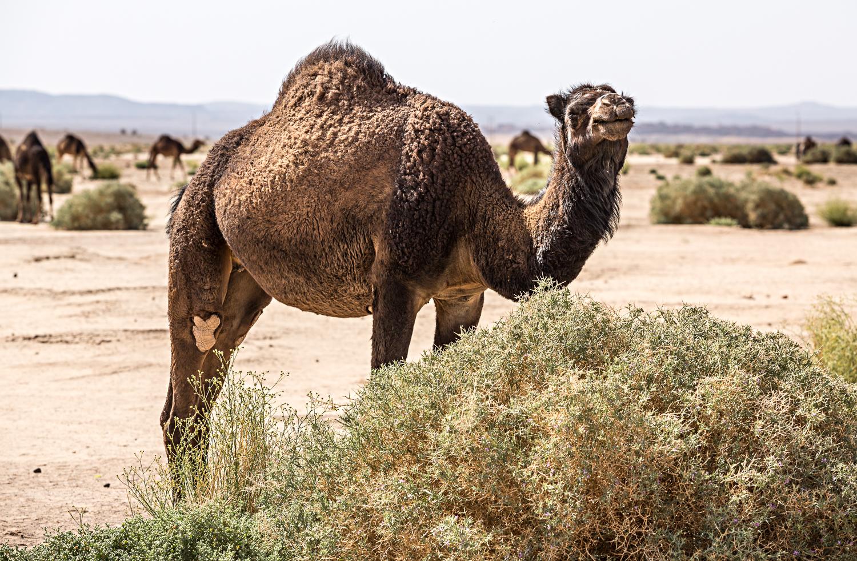 Dromadaires au Maroc