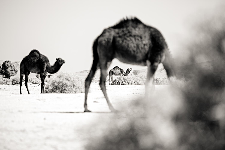 Troupeau de dromadaires au Maroc
