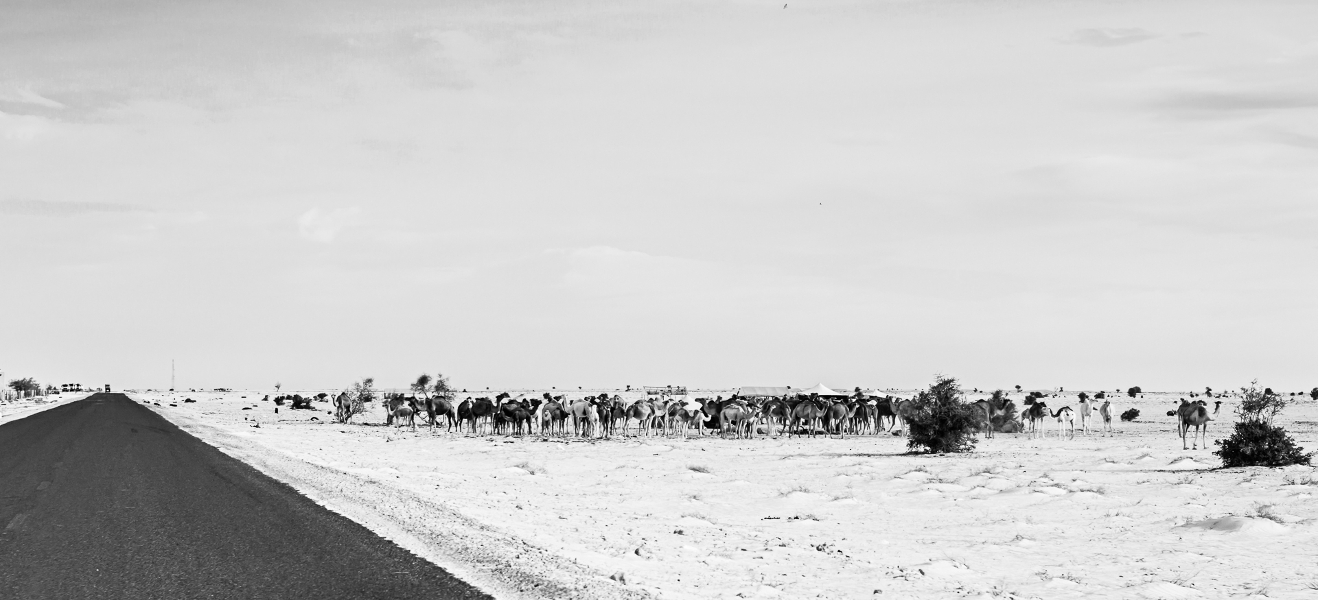 dromadaires Nouakchott Atar Mauritanie