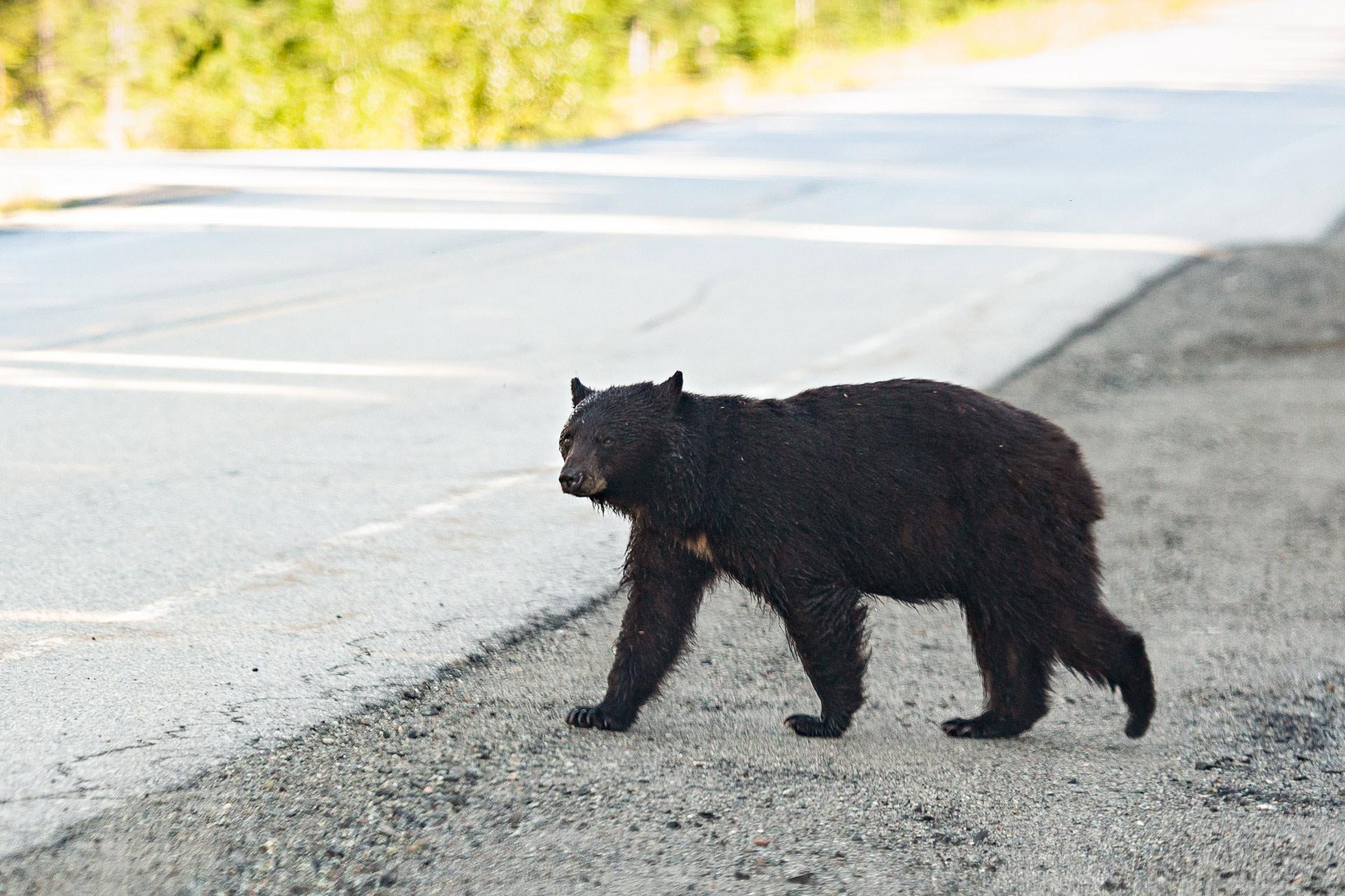 Black bear Whistler Canada