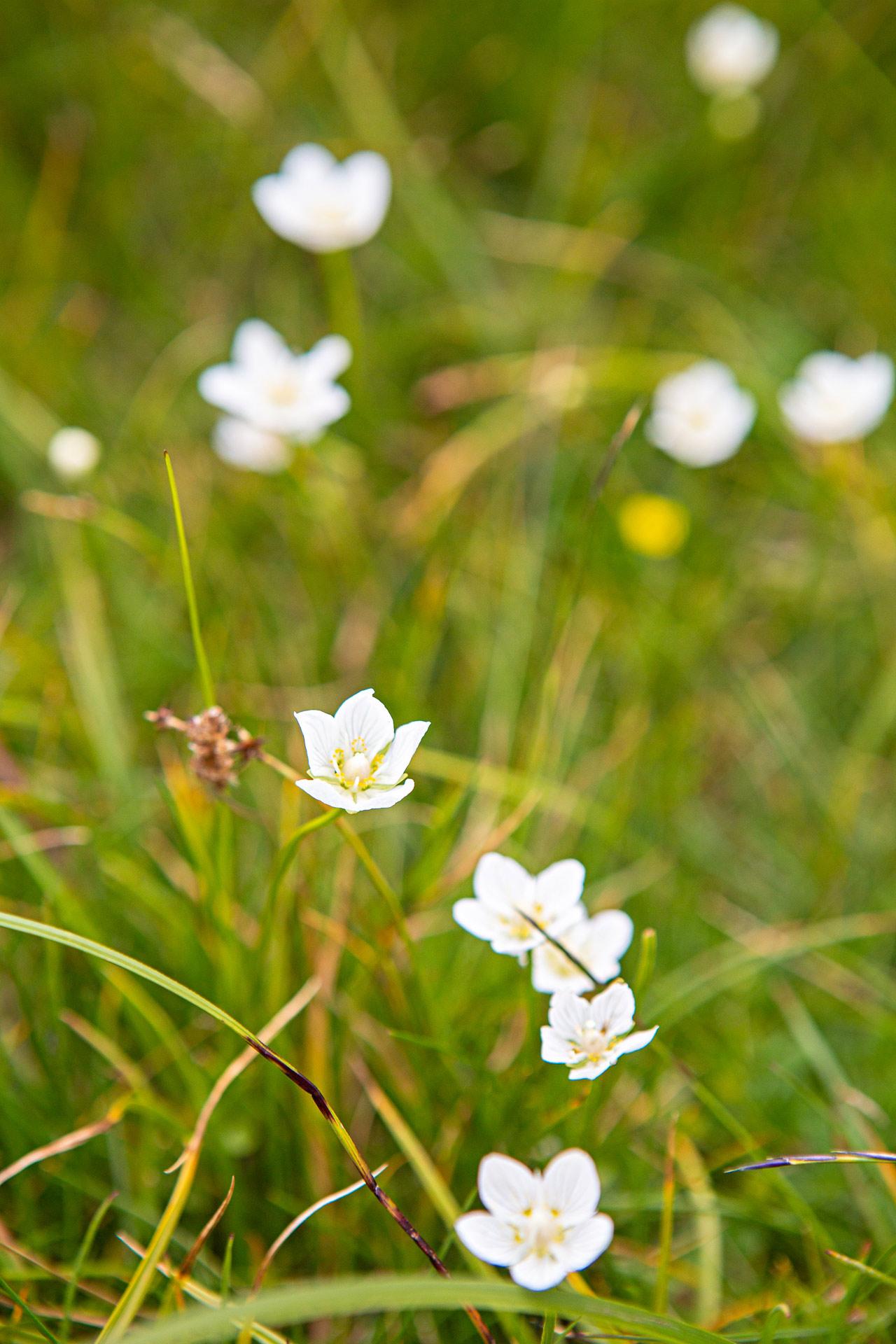 Fleurs blanches plateau lac Fourchu