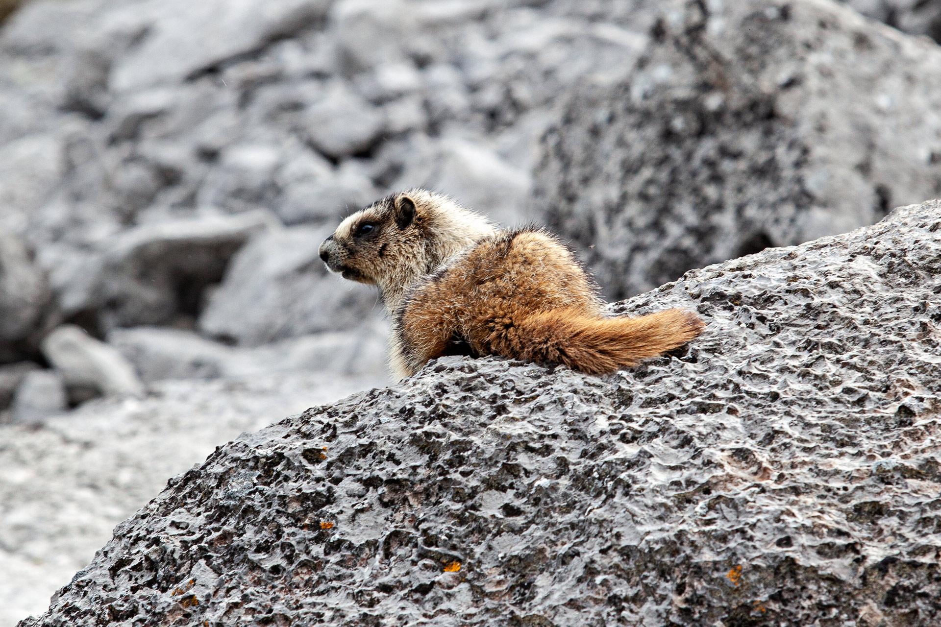 Marmotte parc national de Banff Canada ouest
