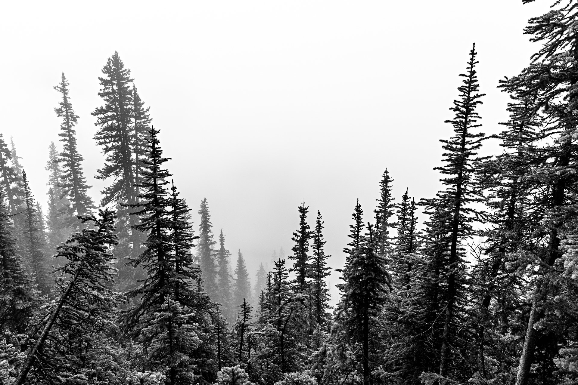 Sapins parc national de Banff Canada