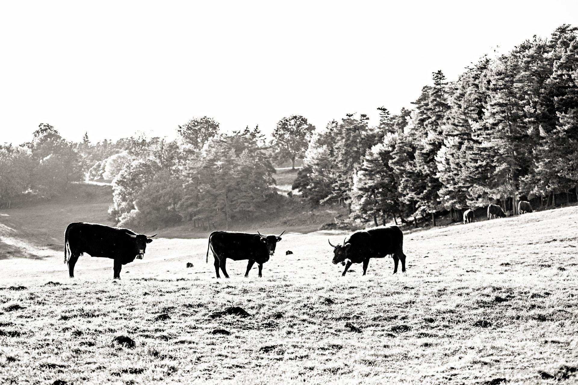 Vaches Salers en Auvergne