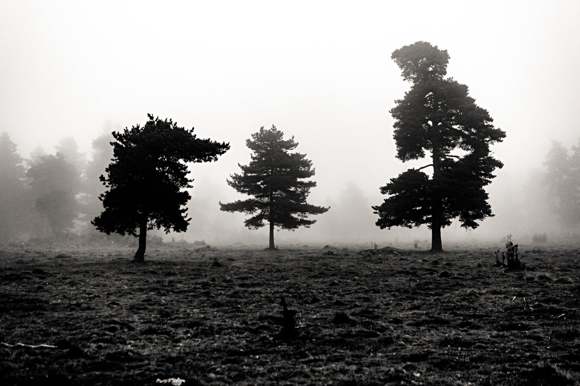 Pins Sylvestre en Auvergne