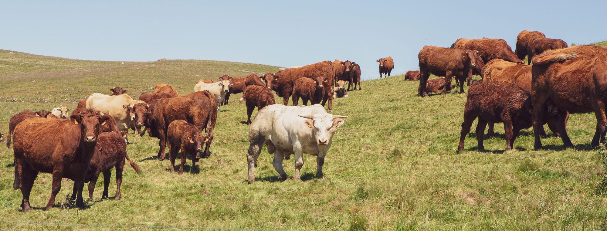 Vaches Salers hôtel en Auvergne