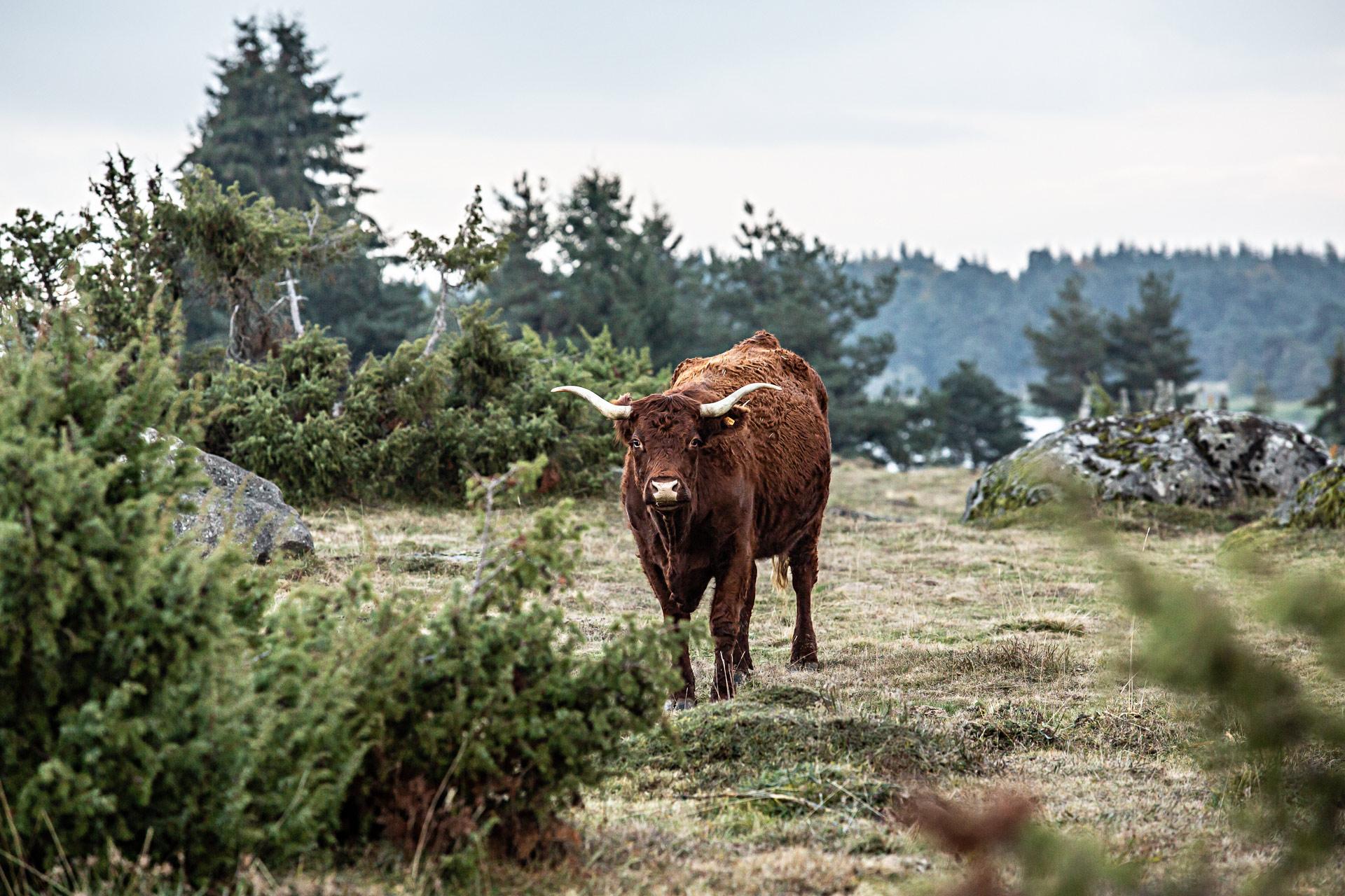 Vache Salers en Auvergne