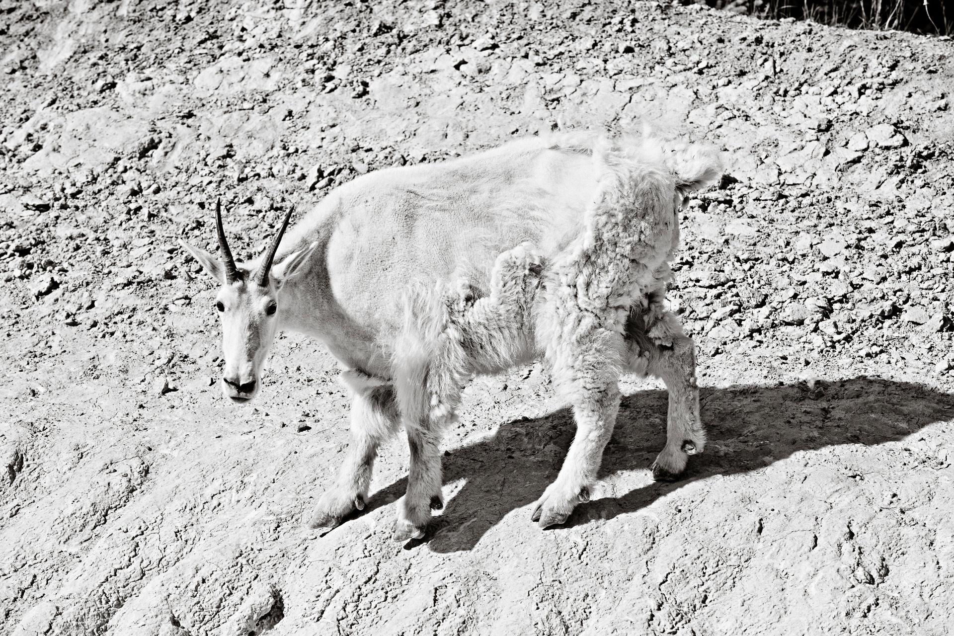 Chèvre des montagnes promenade des Glaciers