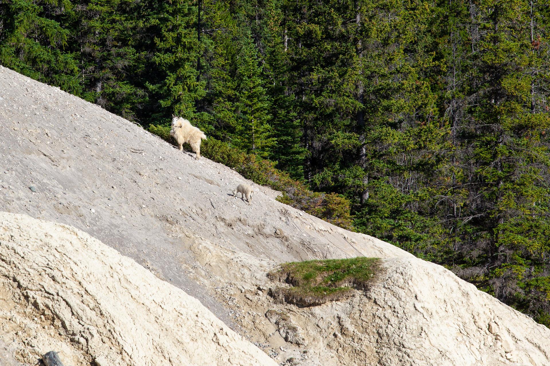 Chèvres des montagnes promenade des Glaciers Canada