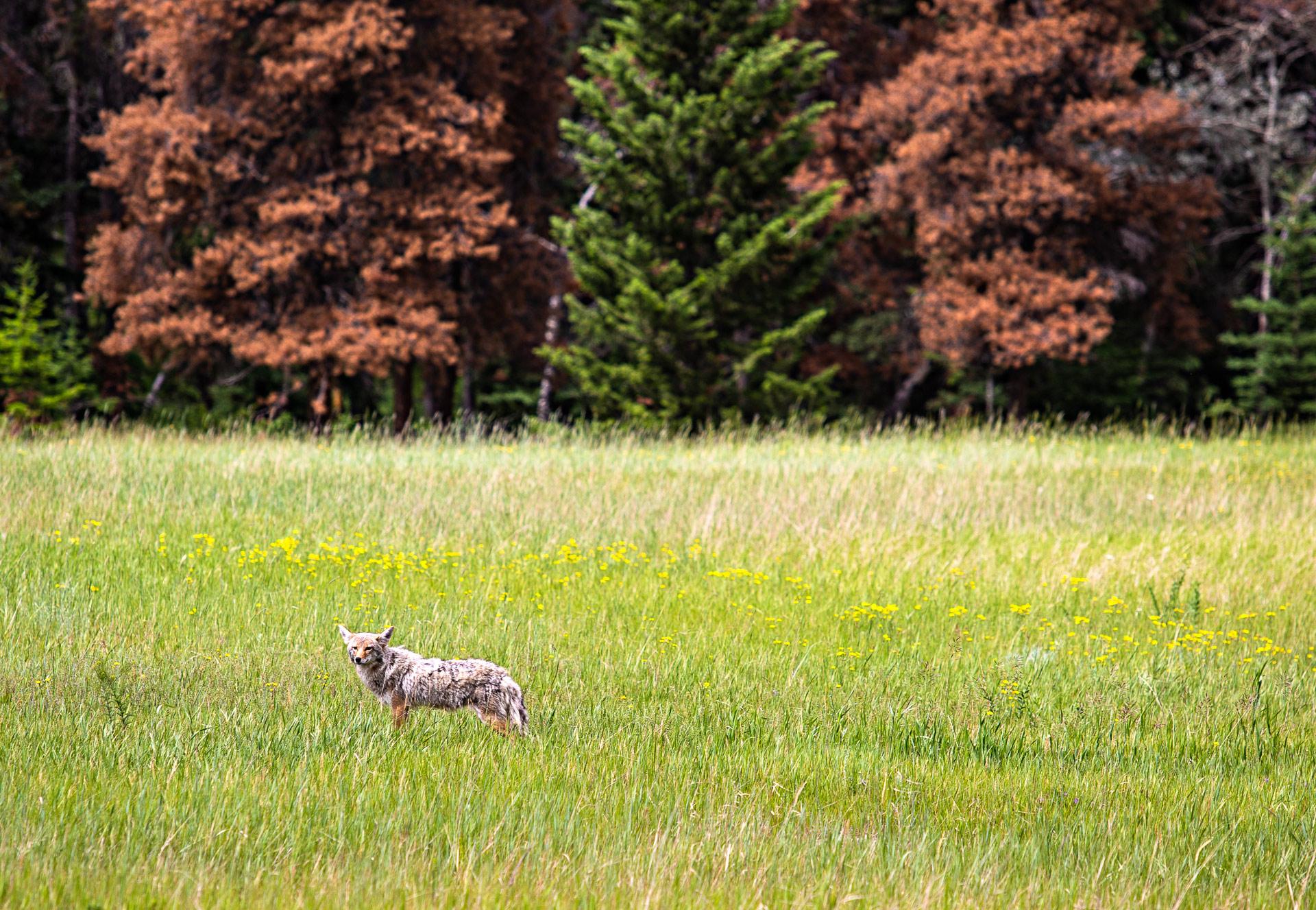 Coyote Jasper Canada Ouest
