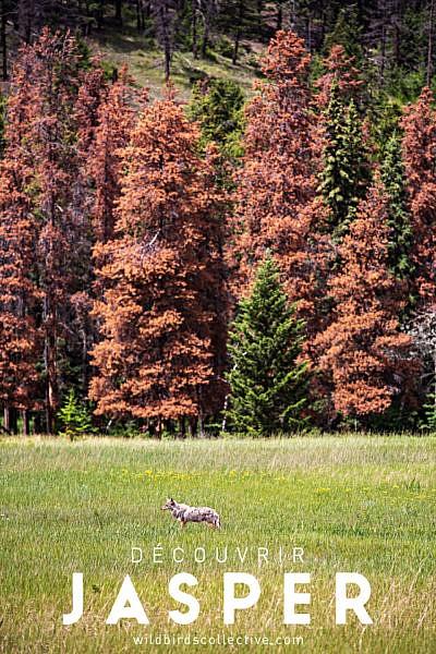 Coyote Jasper Alberta Canada Ouest