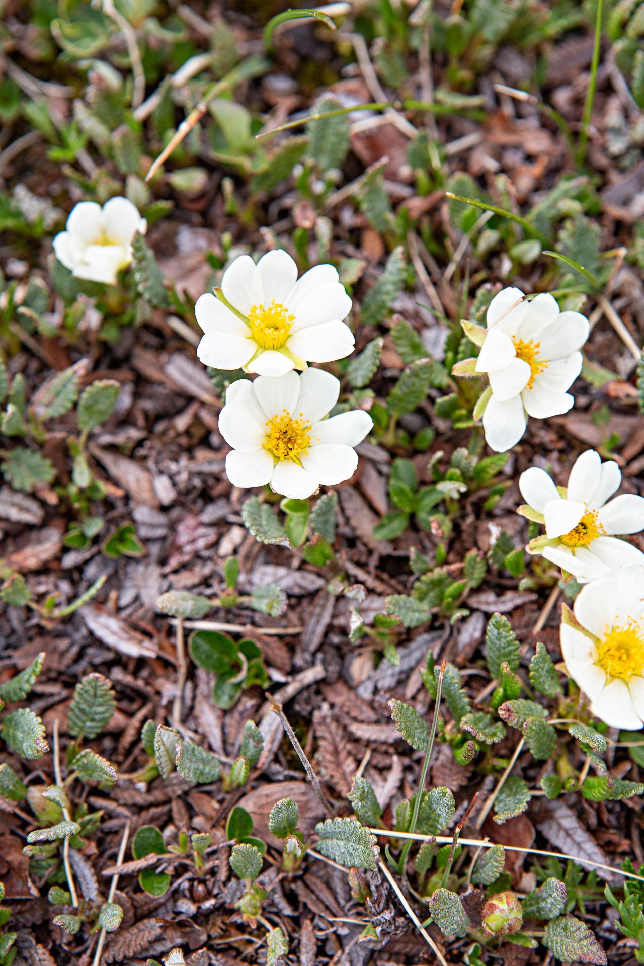 Fleurs Jasper Alberta Canada