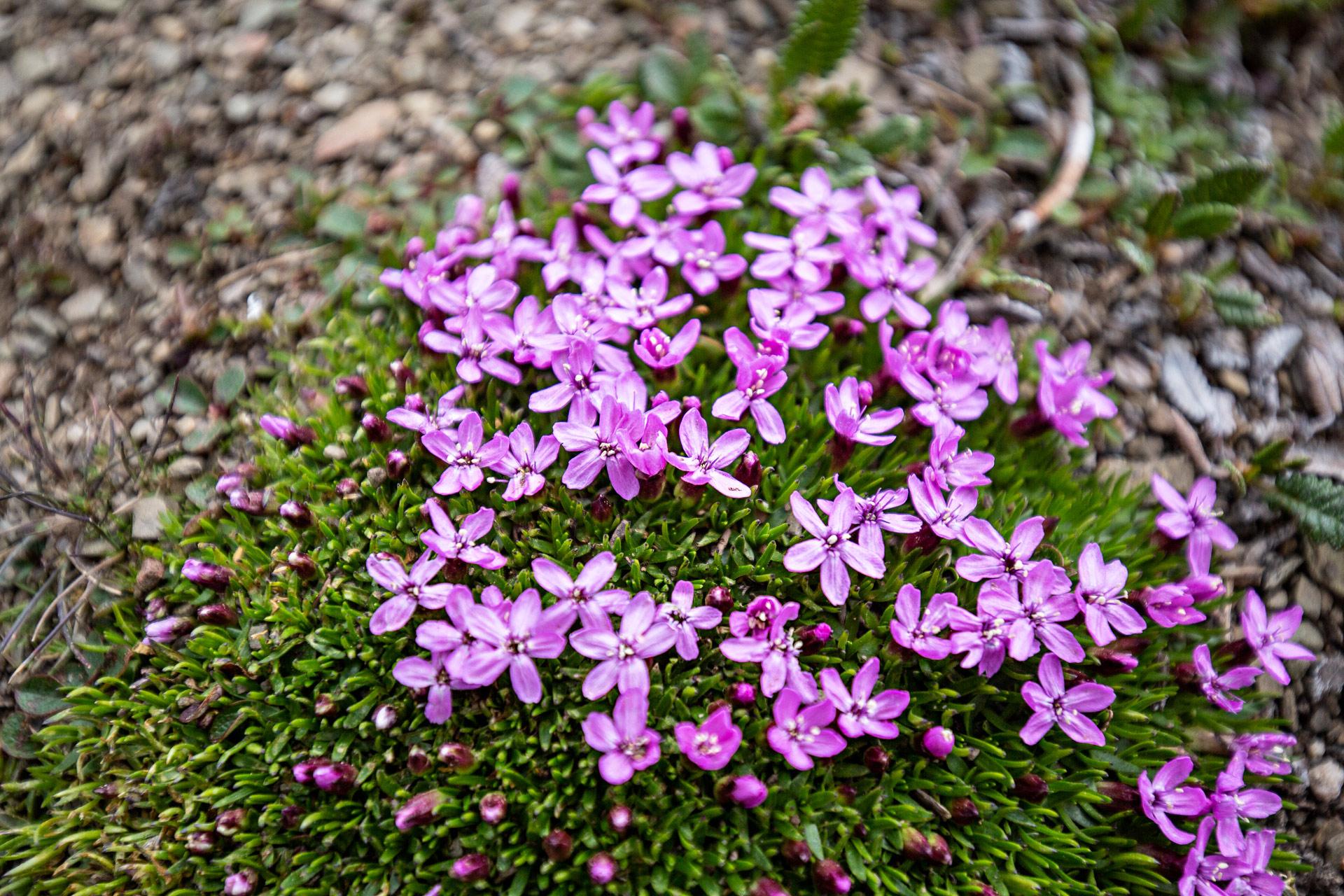 Fleurs roses Bald Hills Jasper Canada