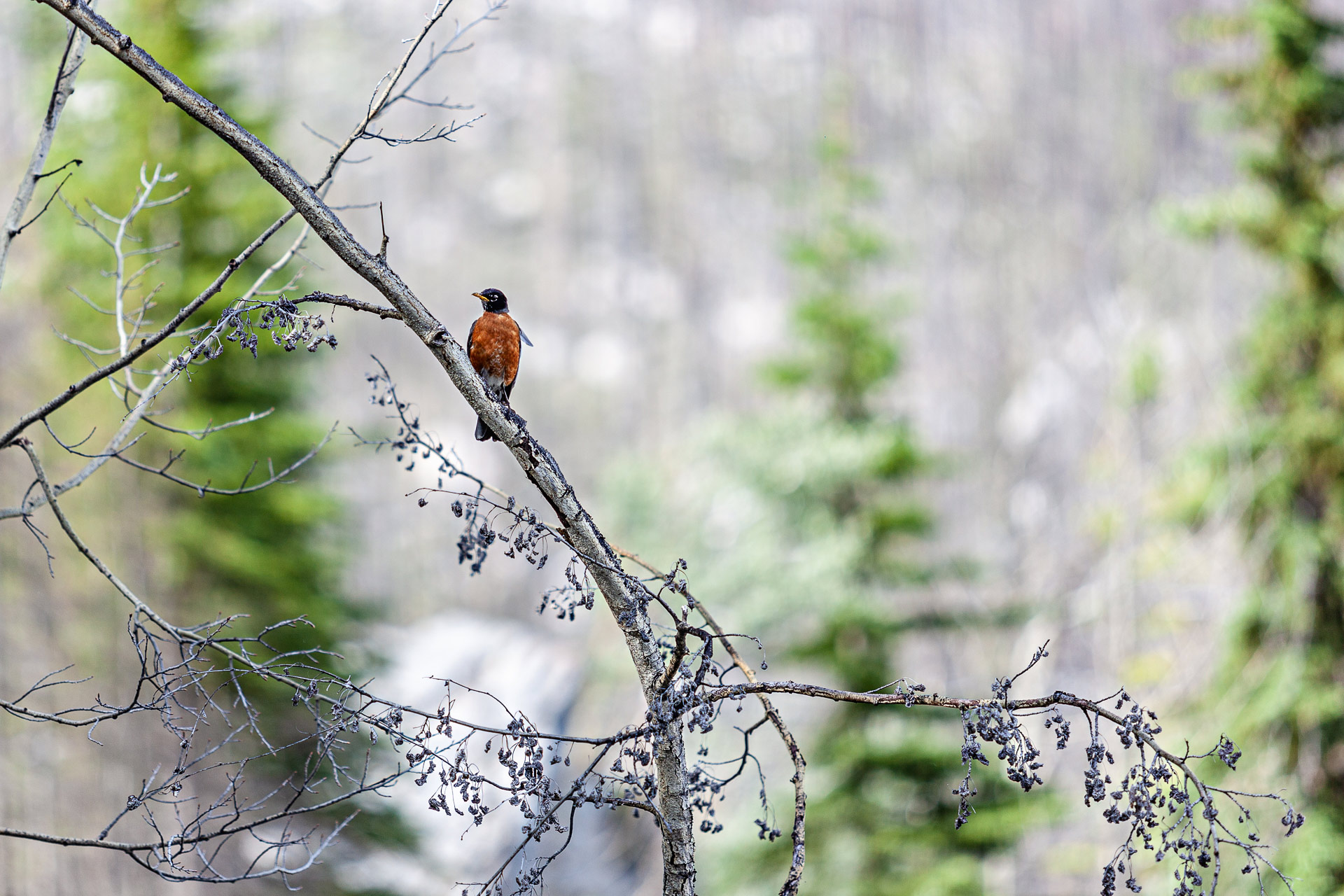 Oiseau rouille Jasper Alberta Canada