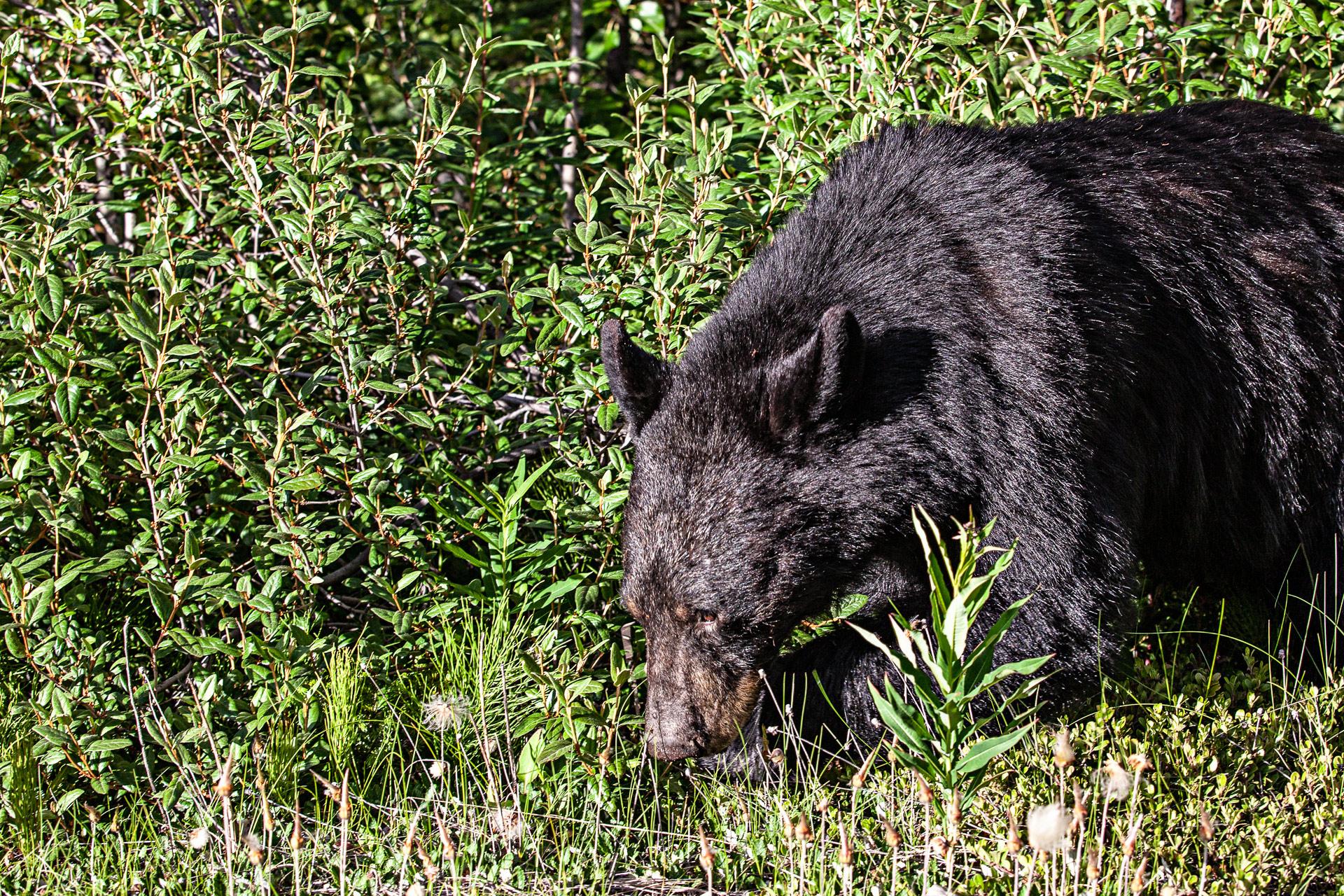 Ours noir Jasper Canada Ouest