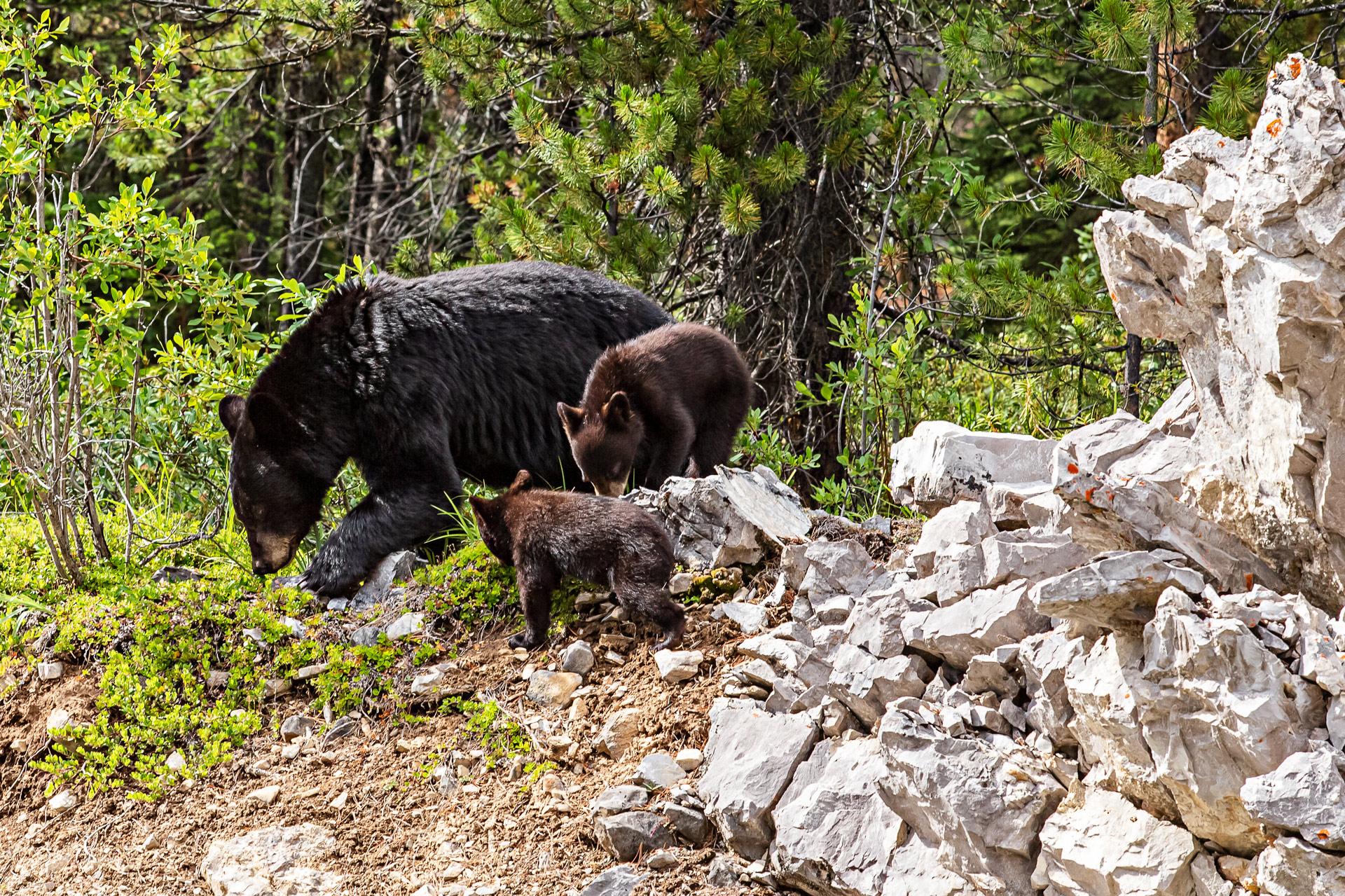 Ours noirs Jasper Alberta Canada