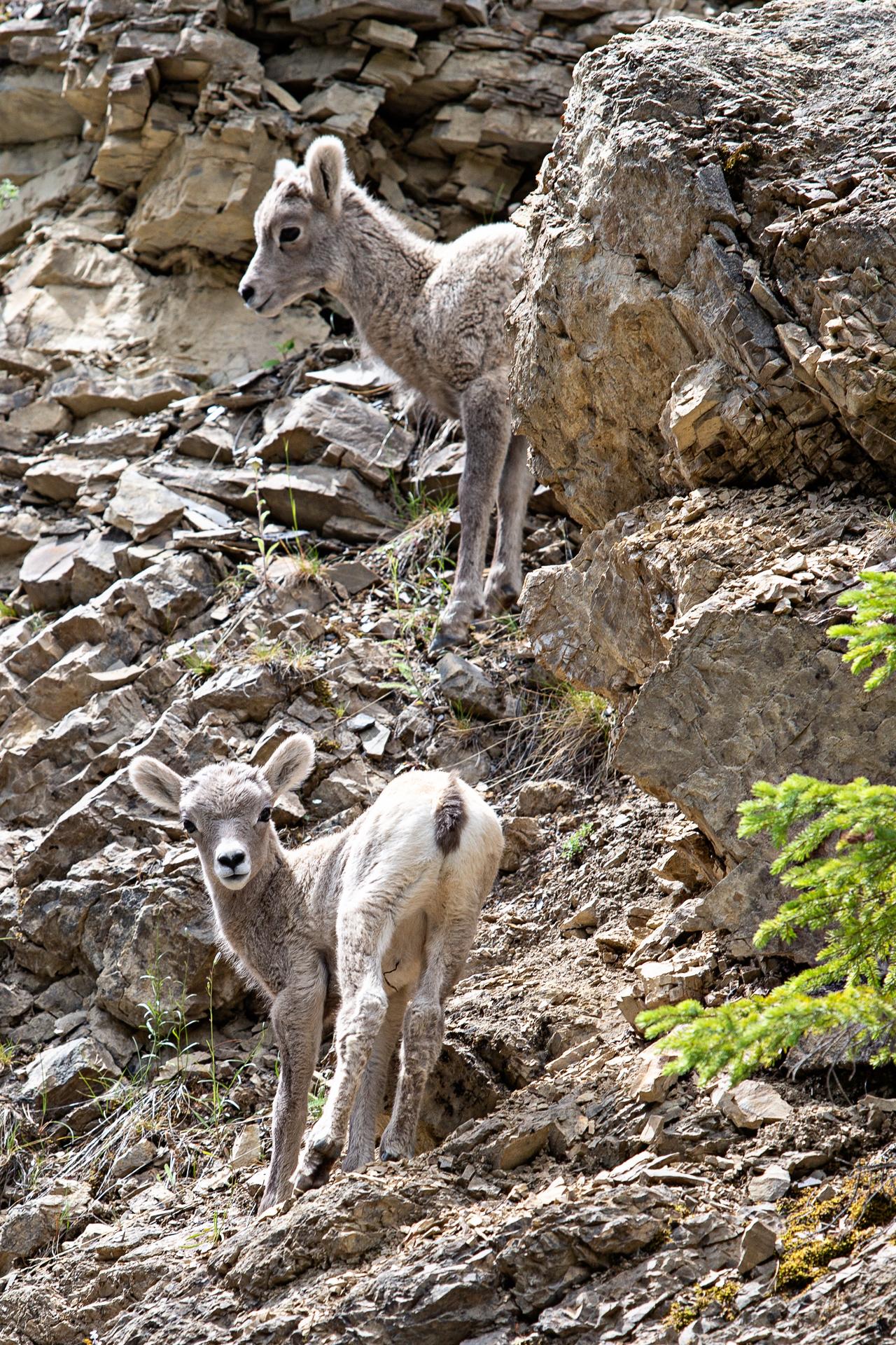 Chèvres des montagnes Jasper Canada