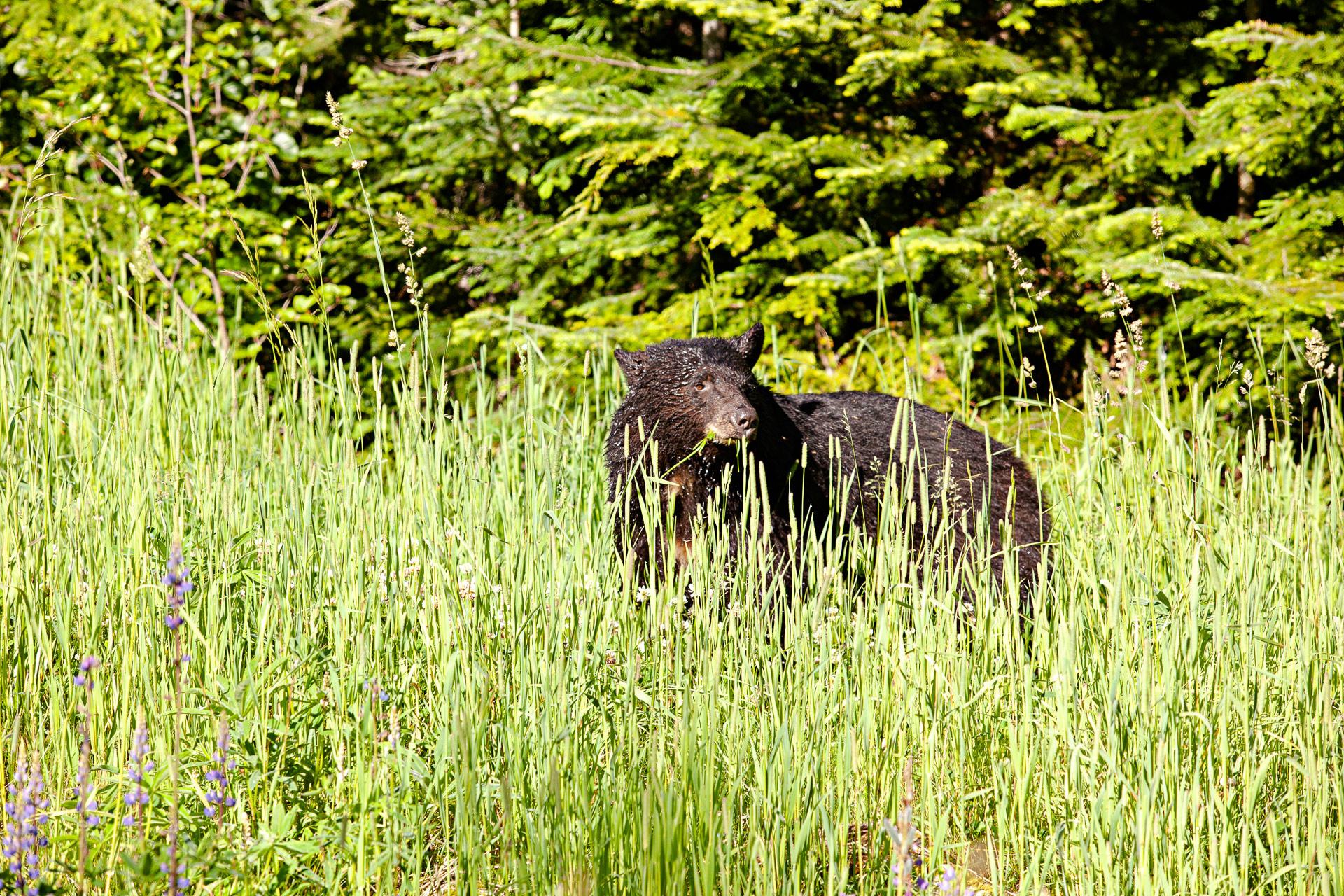 Ours noir Colombie-Britannique Canada