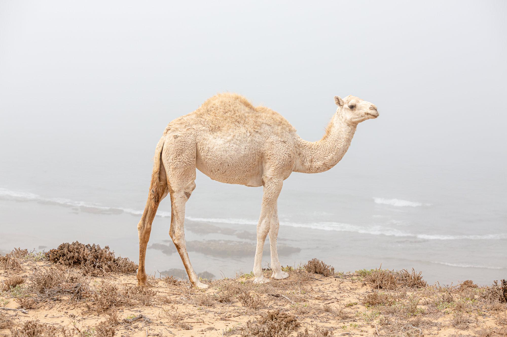 Trek au Maroc Agadir Essaouira dromadaire