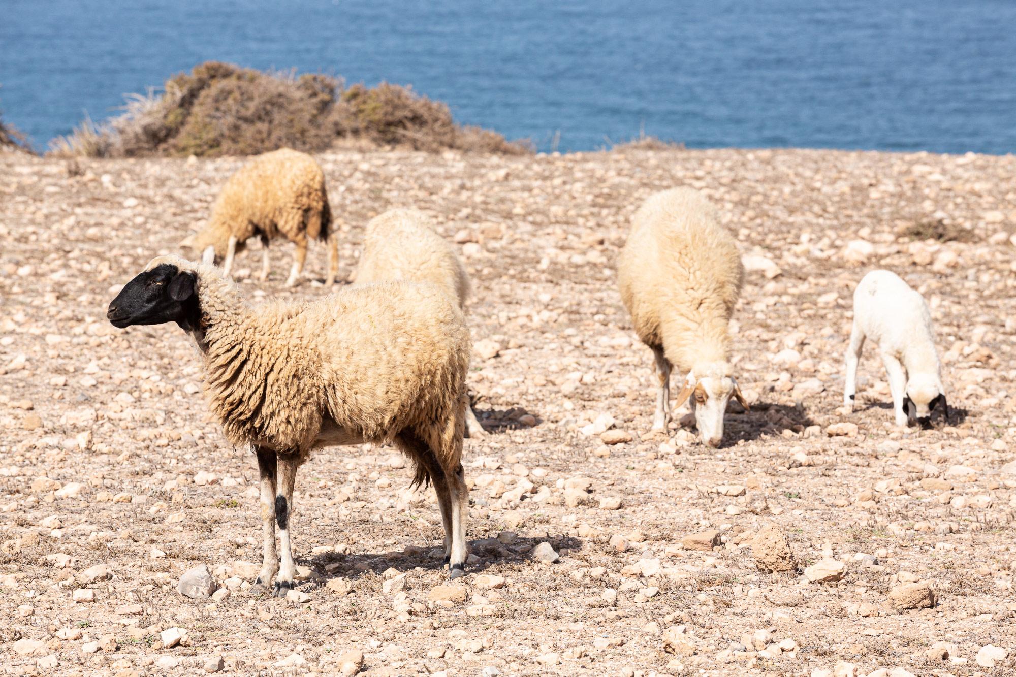 Trek au Maroc Agadir Essaouira moutons