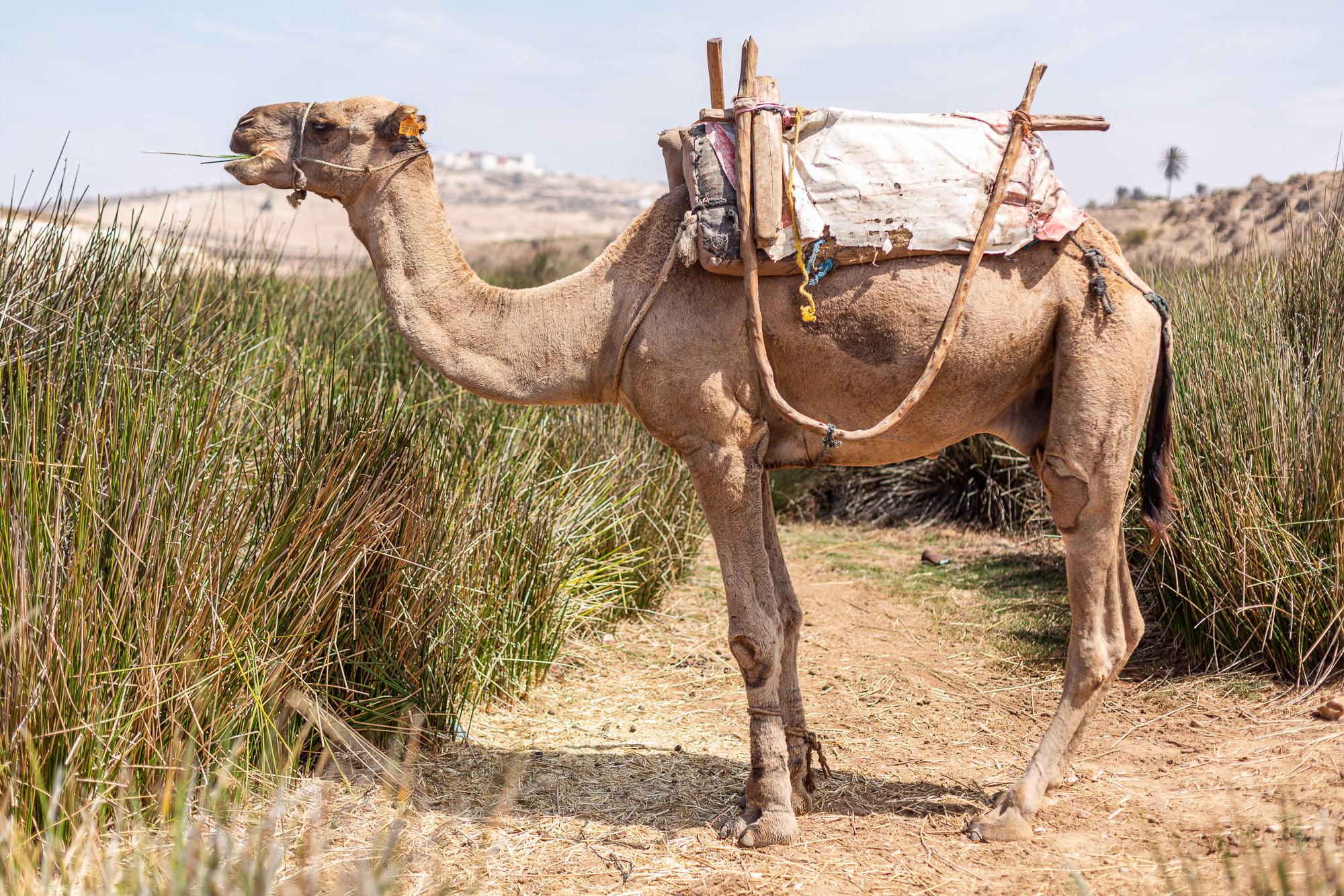Trek Maroc dromadaire Sidi M'Barek