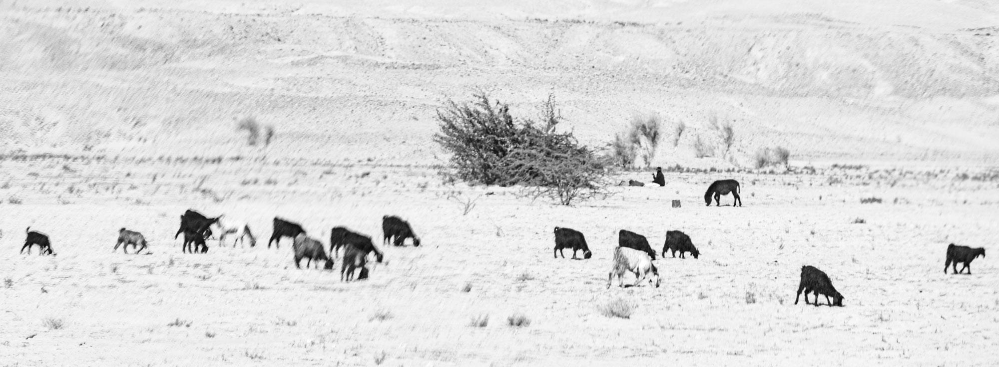 voyage en Jordanie Wadi Araba chèvres